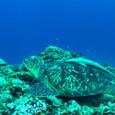 アオウミガメ&コバンザメ&ホンソメワケベラ